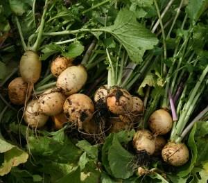 turnips-camel csa