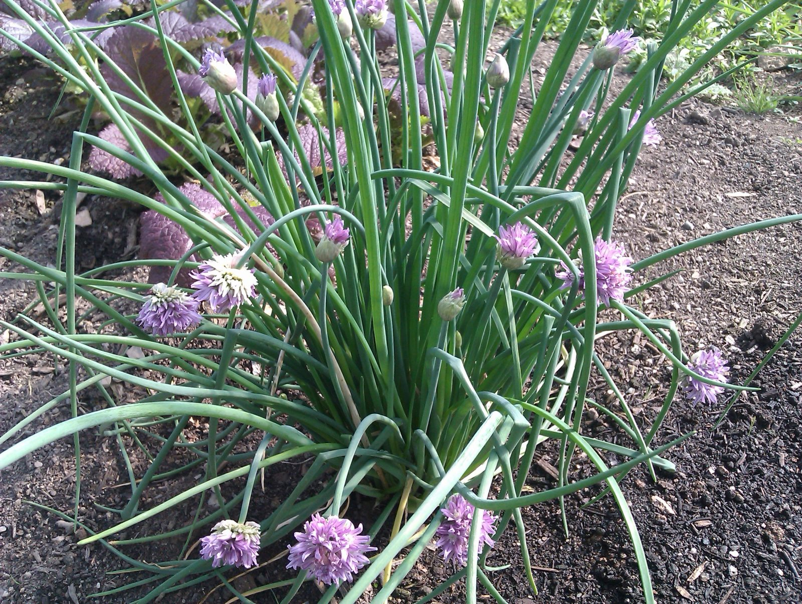 It's time to… plant shallots and sow salad rocket @ Camel ...