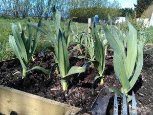 elephant-garlic-weeded-camelcsa-110414