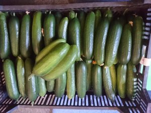 cucumbers-camelcsa-190614