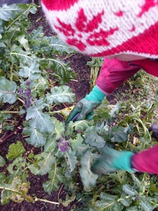 purple-sprouting-broccoli-picking-300115