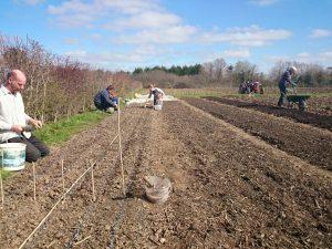 onion-planting-camel csa-0315