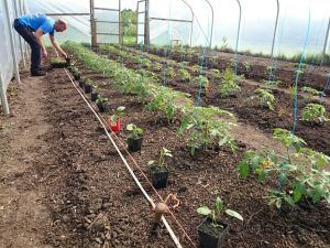 aubergine-planting-camelcsa-110515