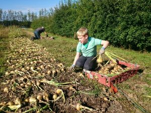 harvesting-onions-camelccsa-0815
