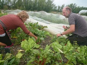 picking-rainbow-chard-camelcsa-100616