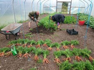 harvesting-baby-carrots-camelcsa-170616