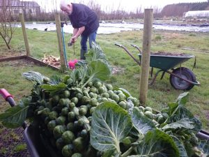 brussels-sprout-stalks-camelcsa-231416
