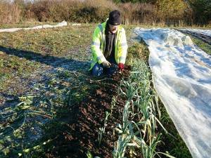 leek-picking-camelcsa-021216