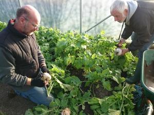 turnip-picking-camelcsa-021216