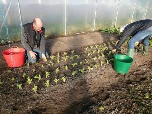 winter-salad-picking-camelcsa-021216