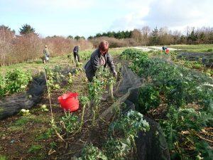 harvesting-veg-camelcsa-240217