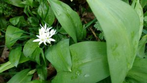 flowering-wild-garlic-camelcsa-170317