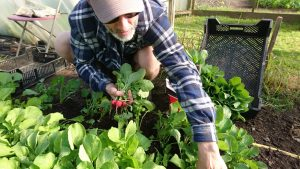 harvesting-radishes-camelcsa-210417