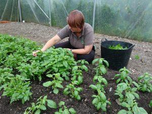 basil-harvesting-camelcsa-280717