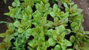 freckles-lettuce-camelcsa-0419