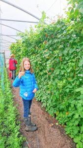 harvesting-runner-beans-camelca-160819