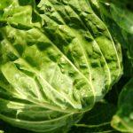 cabbage-tundra-camelcsa-291119