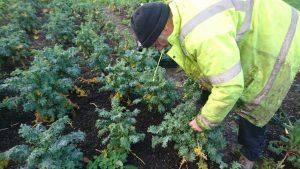 harvesting-redrussian-kale-camelcsa-170120