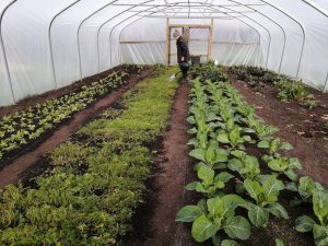 watering-polytunnel-treraven-camelcsa-220220