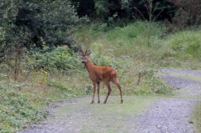 Roe Deer St Breock Downs 15-8-13 C Selway
