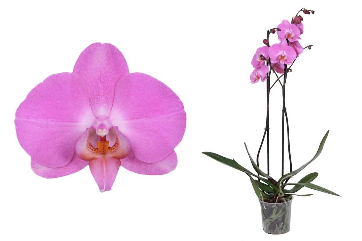 Phalaenopsis  Cameleon