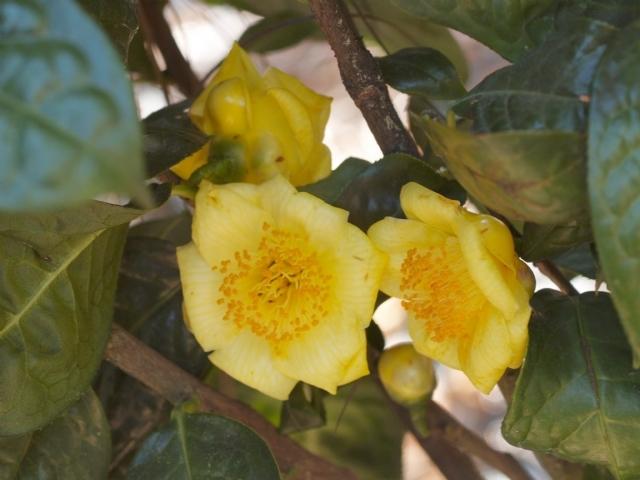 yellow camellias american camellia