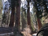 Driving through the giants Sequoia National Park