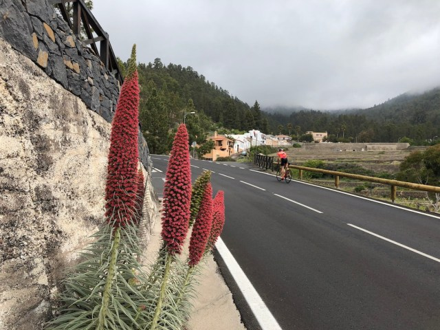 Tajinaste Rojo Tenerife