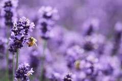 後ろ足についた蜜が大きい