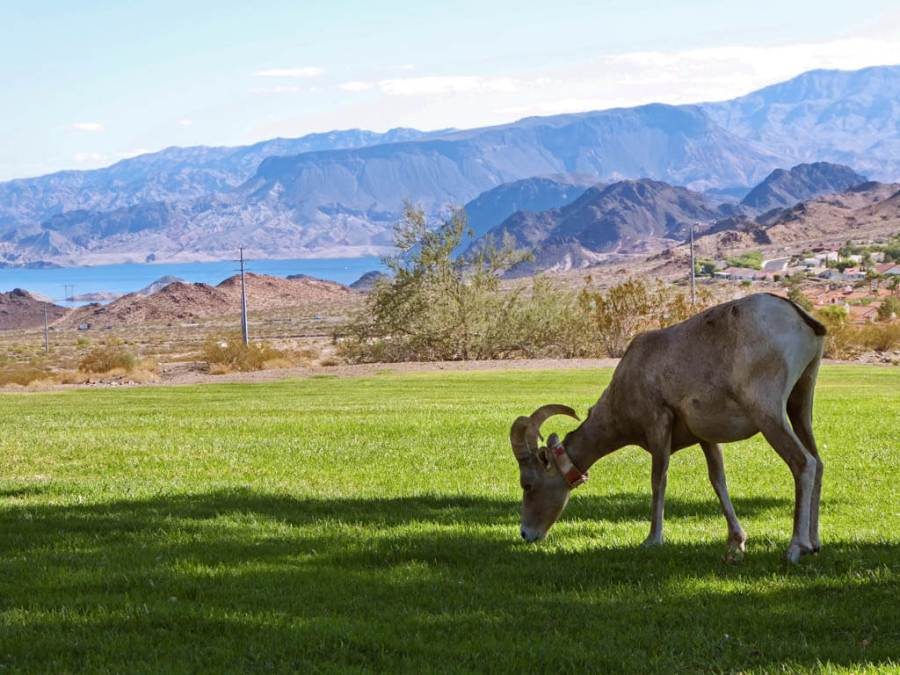 Big Horn Grazing with Lake Mead in the background