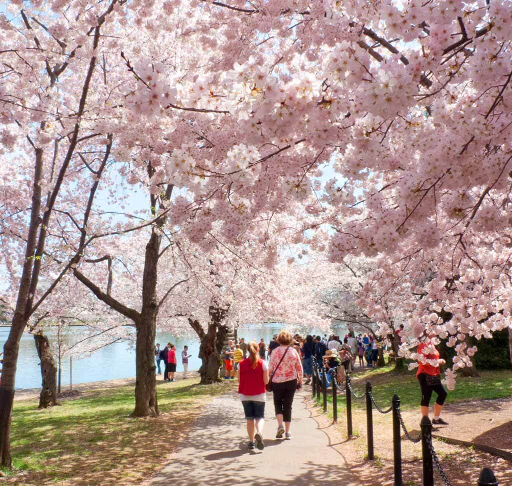 Cherry Blossom Trees Washington DC