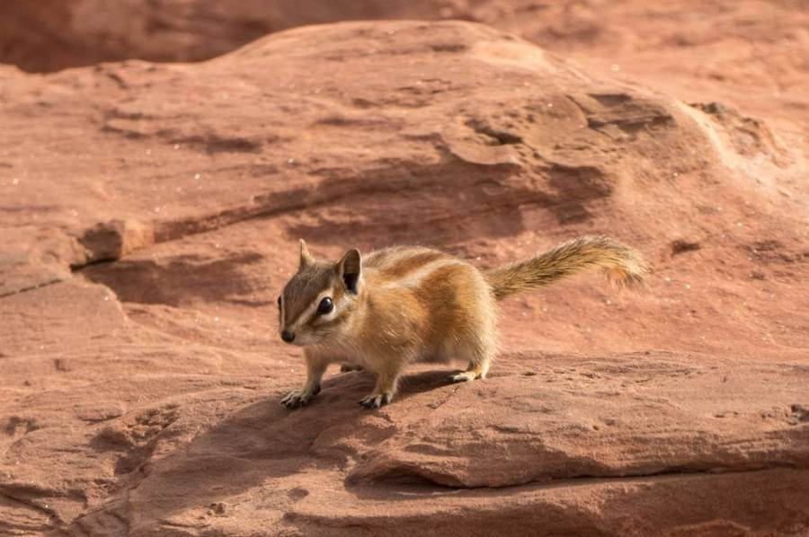chipmunk in canyonlands