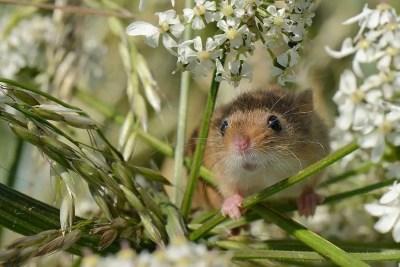 snapshot-1-harvest-mice-nick-upton-northamptonshire-documentary-winner