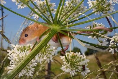 snapshot-4-harvest-mice-nick-upton-northamptonshire-documentary-winner