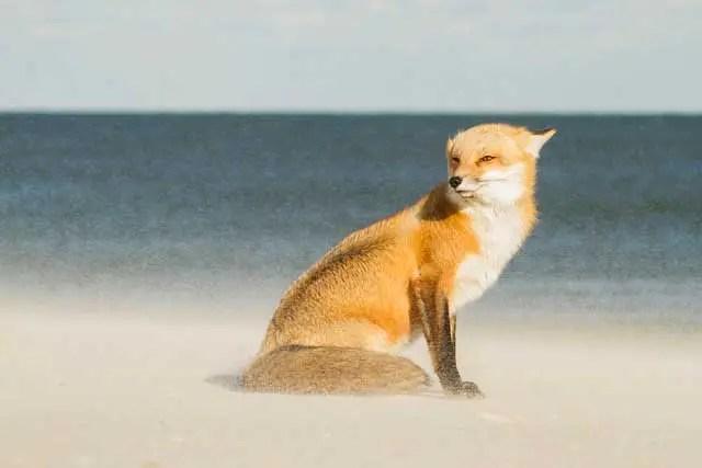 Fox in snow - Courtney Moore/tpoty.com