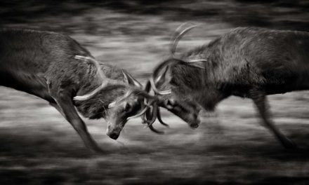 How to photograph the deer rut