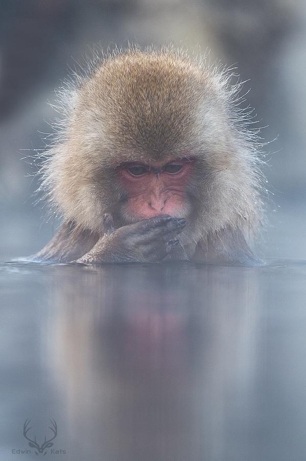 Японские снежные обезьяны