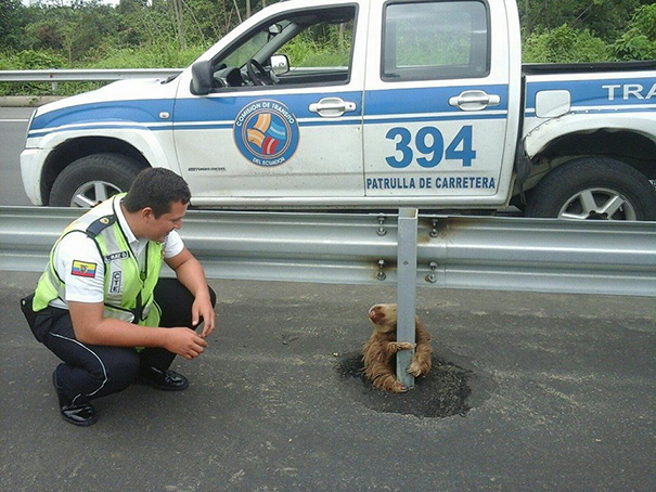 police-rescue-sloth-cross-highway-ecuador-4