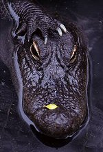 American Alligator, photograph by Brent VanFossen
