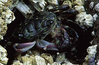 Green and purple shore crab, photograph by Brent VanFossen