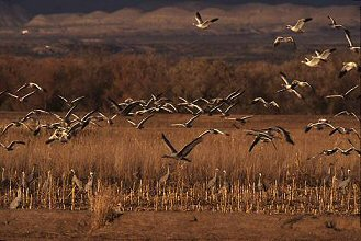 Birds in flight at Bosque del Apache, New Mexico, photograph by Brent VanFossen
