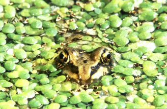 Frog peeking out of duckweed, photograph by Brent VanFossen