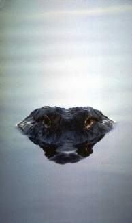 Alligator in water, Photo by Brent VanFossen