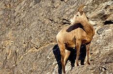 Big horn sheep stands along the sheer rock face. Photo by Brent VanFossen