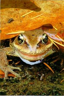 Red-legged Frog. Photo by Brent VanFossen