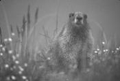 Example of marmot in fog light