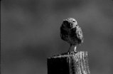 Example of quarter light on burrowing owl