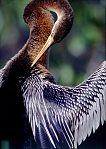 Anhinga drying and preening in the sun, photo by Brent VanFossen