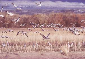 Birds in flight over ponds, Bosque del Apache, New Mexico, photograph by Brent VanFossen