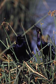 Boat-tailed grackles do their mating rituals at Wakodahatchee, photo by Brent VanFossen